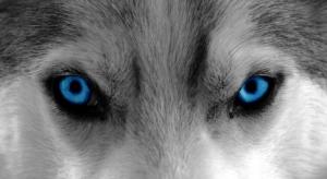 blue-eyed-wolf-animal-eye-sled-dog-dog
